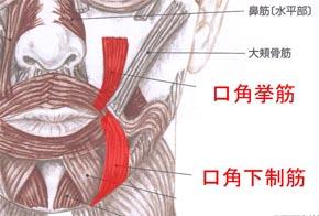 「口角挙筋」の画像検索結果