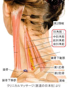 首の骨と肋骨をつないでいて、首の運動や呼吸時に胸郭(肋骨)を上下させるのを補助する働きをする筋に